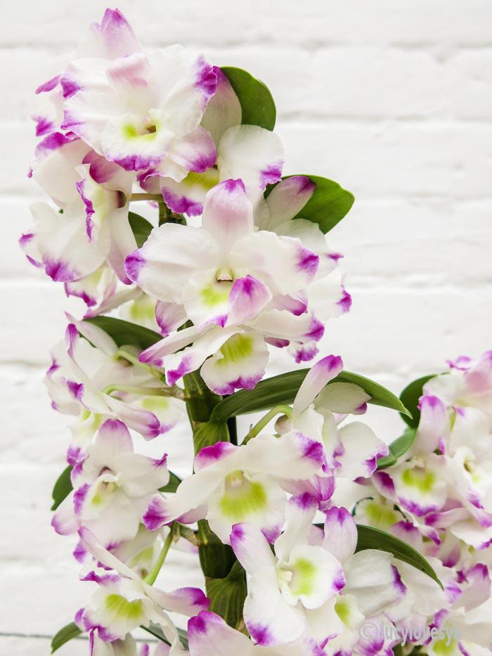 dendobrium-noble-orchid