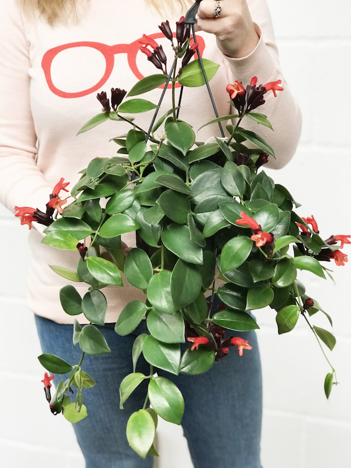 lipstick plant aeschynathus mona lisa plant hanging