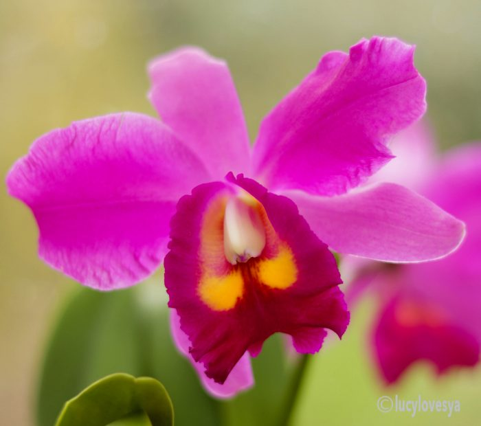 cattleya-orchid-houseplant