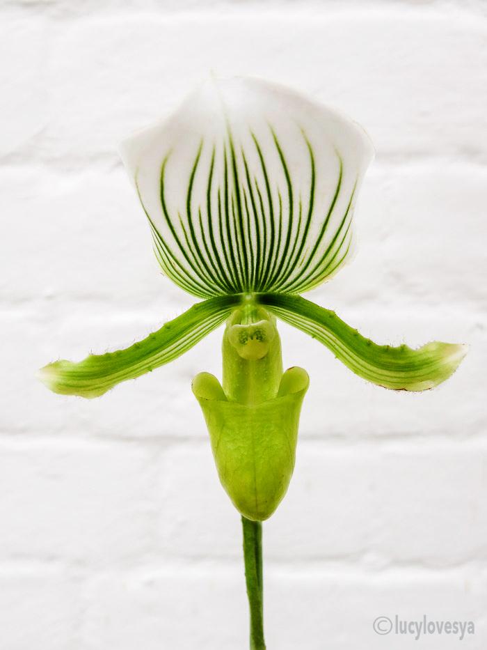 paphiopedilum-slipper-orchid