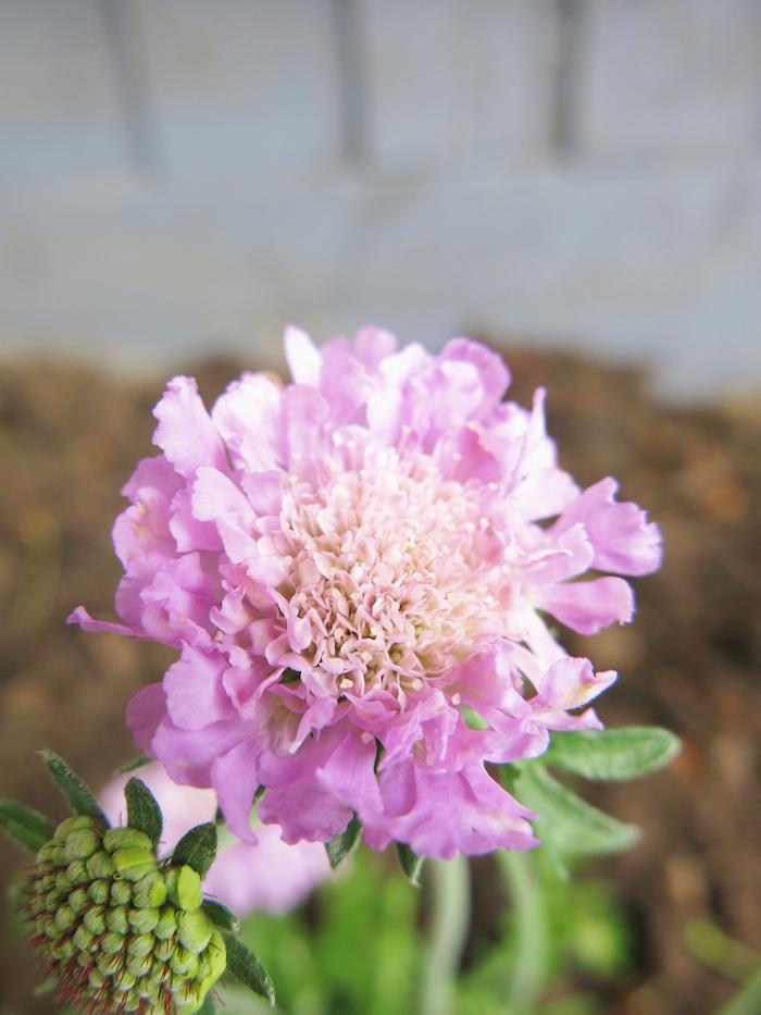 Scabousa Misty Butterfly pink Flower