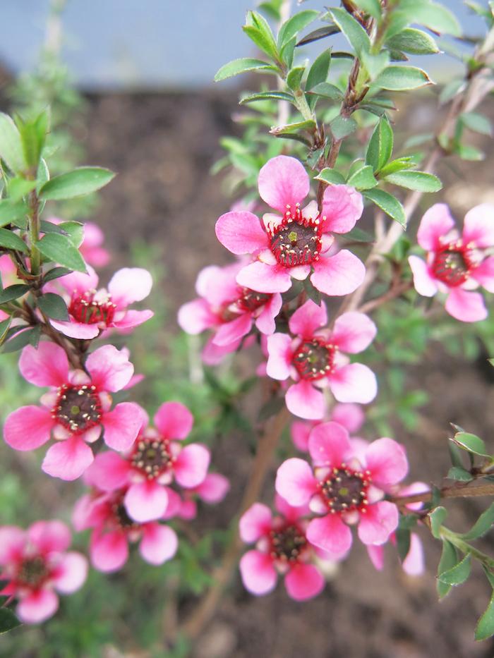 Leptospermum pink flower