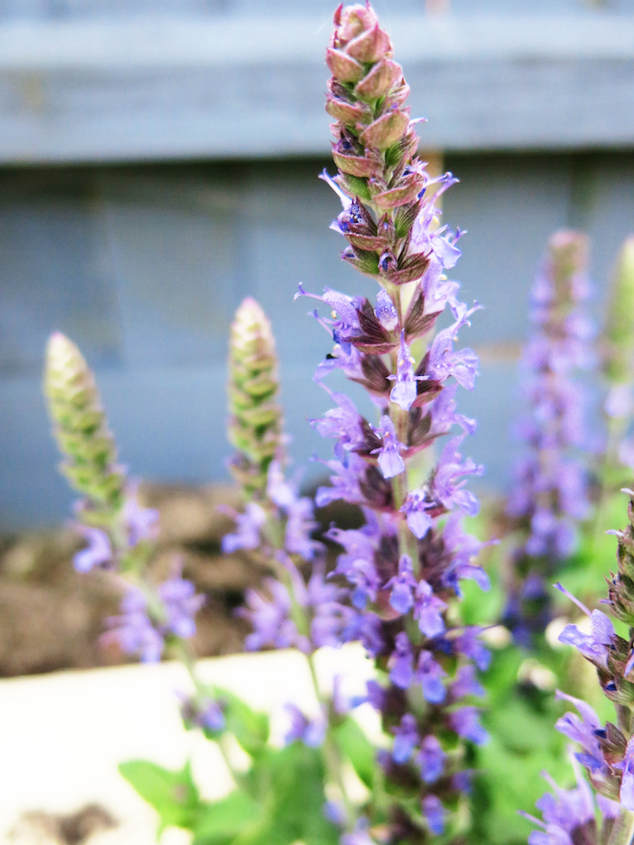 Salvia Plant Purple Garden Border